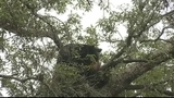 Photos: Bear hangs out in Pine Hills tree - (1/8)