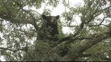 Photos: Bear hangs out in Pine Hills tree - (7/8)