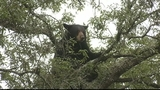 Photos: Bear hangs out in Pine Hills tree - (5/8)