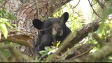 Photos: Mother bear, cubs in Altamonte Springs tree - (1/12)