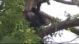 Photos: Mother bear, cubs in Altamonte Springs tree - (4/12)