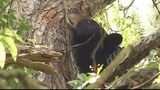 Photos: Mother bear, cubs in Altamonte Springs tree - (3/12)