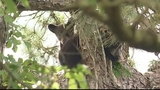 Photos: Mother bear, cubs in Altamonte Springs tree - (2/12)