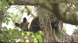 Photos: Mother bear, cubs in Altamonte Springs tree - (8/12)