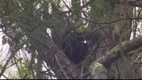 Photos: Mother bear, cubs in Altamonte Springs tree - (11/12)