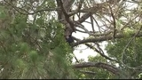 Photos: Mother bear, cubs in Altamonte Springs tree - (9/12)