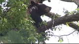 Photos: Mother bear, cubs in Altamonte Springs tree - (12/12)