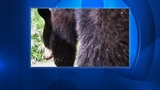 Photos: Bear captured on camera inside trap - (3/5)