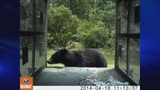 Photos: Bear captured on camera inside trap - (5/5)