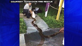 Photos: 12-foot python found in Fla. neighborhood - (9/10)