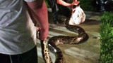 Photos: 12-foot python found in Fla. neighborhood - (8/10)