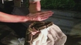 Photos: 12-foot python found in Fla. neighborhood - (7/10)