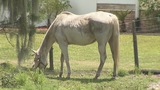 Photos: Complaint alleges horses at Horse… - (2/7)