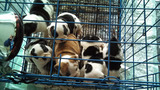 Photos: English bulldog puppy mill operation… - (5/5)