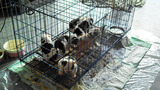 Photos: English bulldog puppy mill operation… - (4/5)