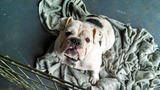 Photos: English bulldog puppy mill operation… - (3/5)