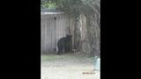 Photos: Tavares nuisance bear - (17/24)