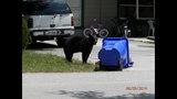 Photos: Tavares nuisance bear - (15/24)