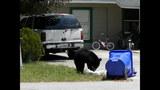 Photos: Tavares nuisance bear - (7/24)
