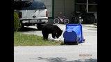 Photos: Tavares nuisance bear - (14/24)