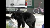 Photos: Tavares nuisance bear - (21/24)