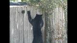 Photos: Tavares nuisance bear - (22/24)