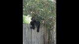 Photos: Tavares nuisance bear - (16/24)