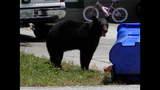 Photos: Tavares nuisance bear - (23/24)
