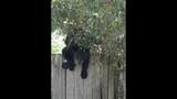 Photos: Tavares nuisance bear - (4/24)