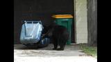 Photos: Tavares nuisance bear - (13/24)