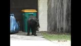 Photos: Tavares nuisance bear - (2/24)