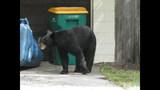 Photos: Tavares nuisance bear - (24/24)