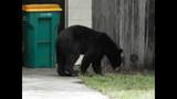 Photos: Tavares nuisance bear - (1/24)