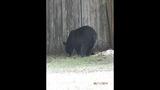 Photos: Tavares nuisance bear - (3/24)
