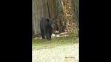 Photos: Tavares nuisance bear - (11/24)