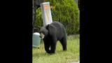 Photos: Tavares nuisance bear - (8/24)