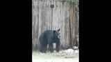 Photos: Tavares nuisance bear - (5/24)