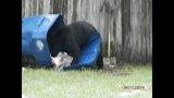 Photos: Tavares nuisance bear - (20/24)