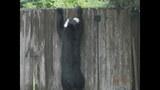 Photos: Tavares nuisance bear - (10/24)