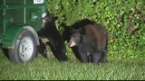 Photos: Family of bears in Longwood - (9/9)