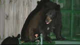 Photos: Family of bears in Longwood - (3/9)