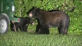 Photos: Family of bears in Longwood - (1/9)