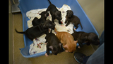 Photos: Puppies, dogs rescued from dog-fighting ring - (15/25)