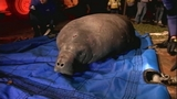 Photos: Satellite Beach manatee rescue - (11/15)