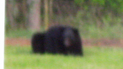 This bear was caught on camera roaming the family's back yard. It is not known whether it is the same bear that attacked Toby.