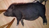 Ocala family fights to keep pet pigs_7308722