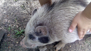 Ocala family fights to keep pet pigs