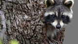 Rabies, raccoon_8225799