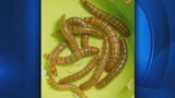 Mealworms_8472884