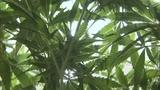 Marijuana_8481072